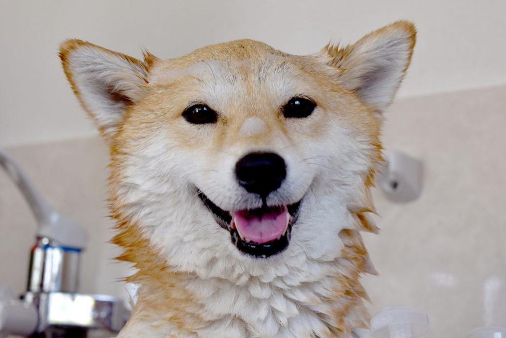 シャンプー中の柴犬