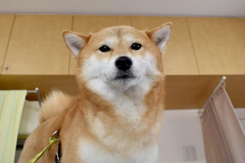 室内の柴犬