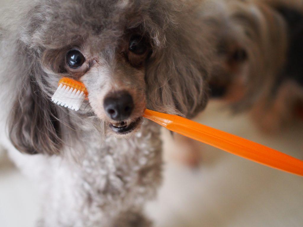 トイプードルと歯ブラシ